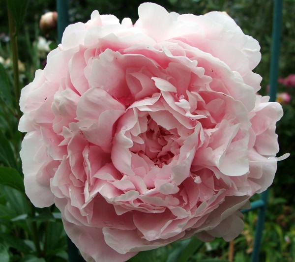 pink-pale-peony